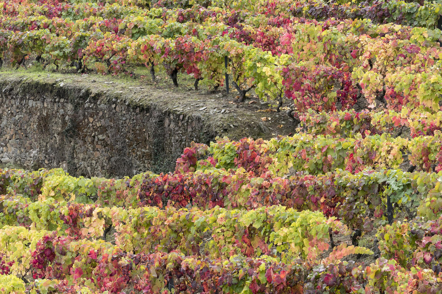 Autumn colours in the terraced vineyards of the Douro