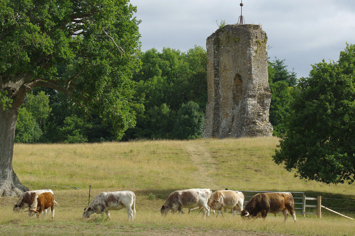 Longhorn cattle grazing in front of the remains of Knepp Castle