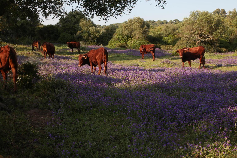 spain-cadiz-dehesa-open-forest-cows-grazing