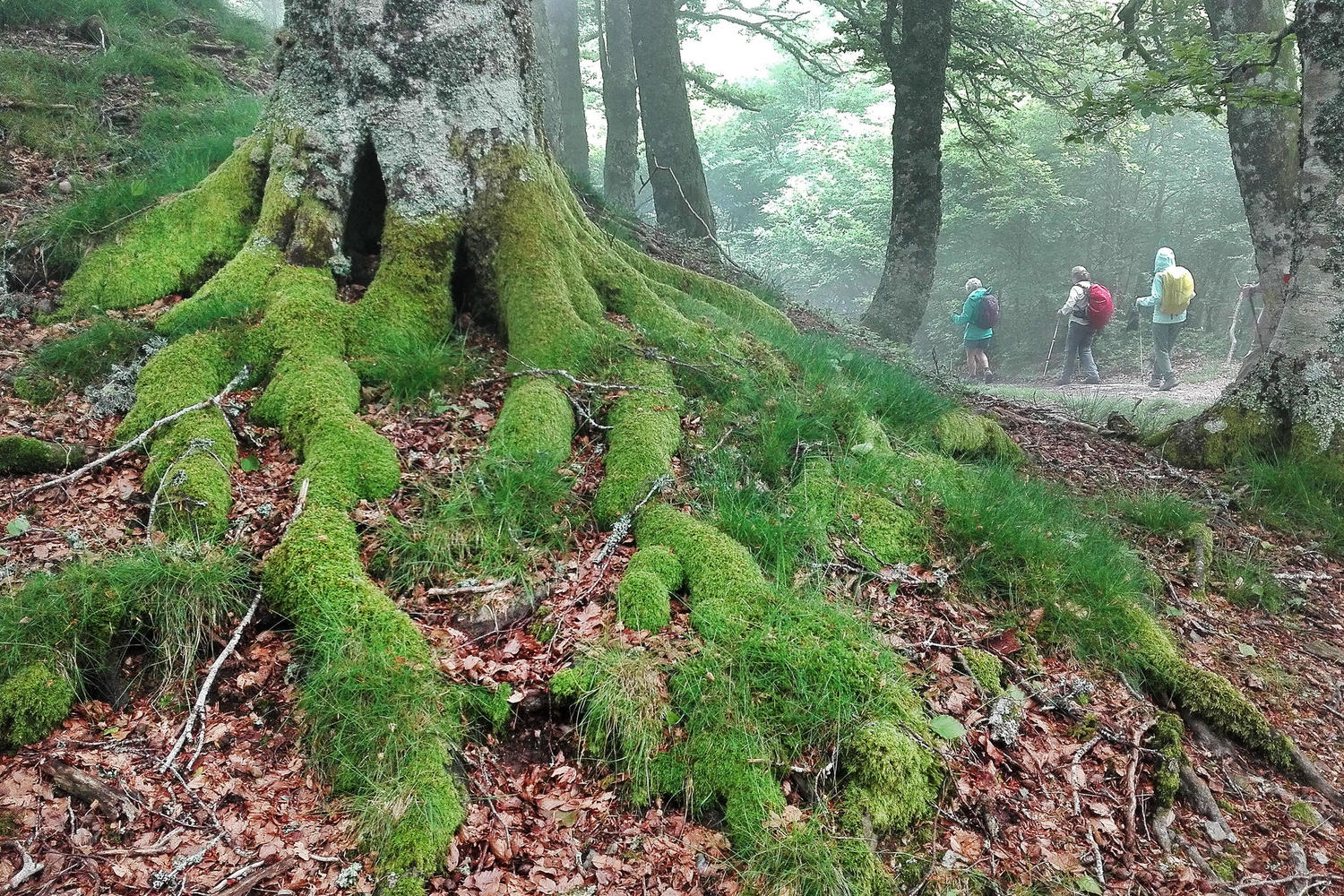 spain-navarre-camino-roncesvalles-beech-forest-hikers