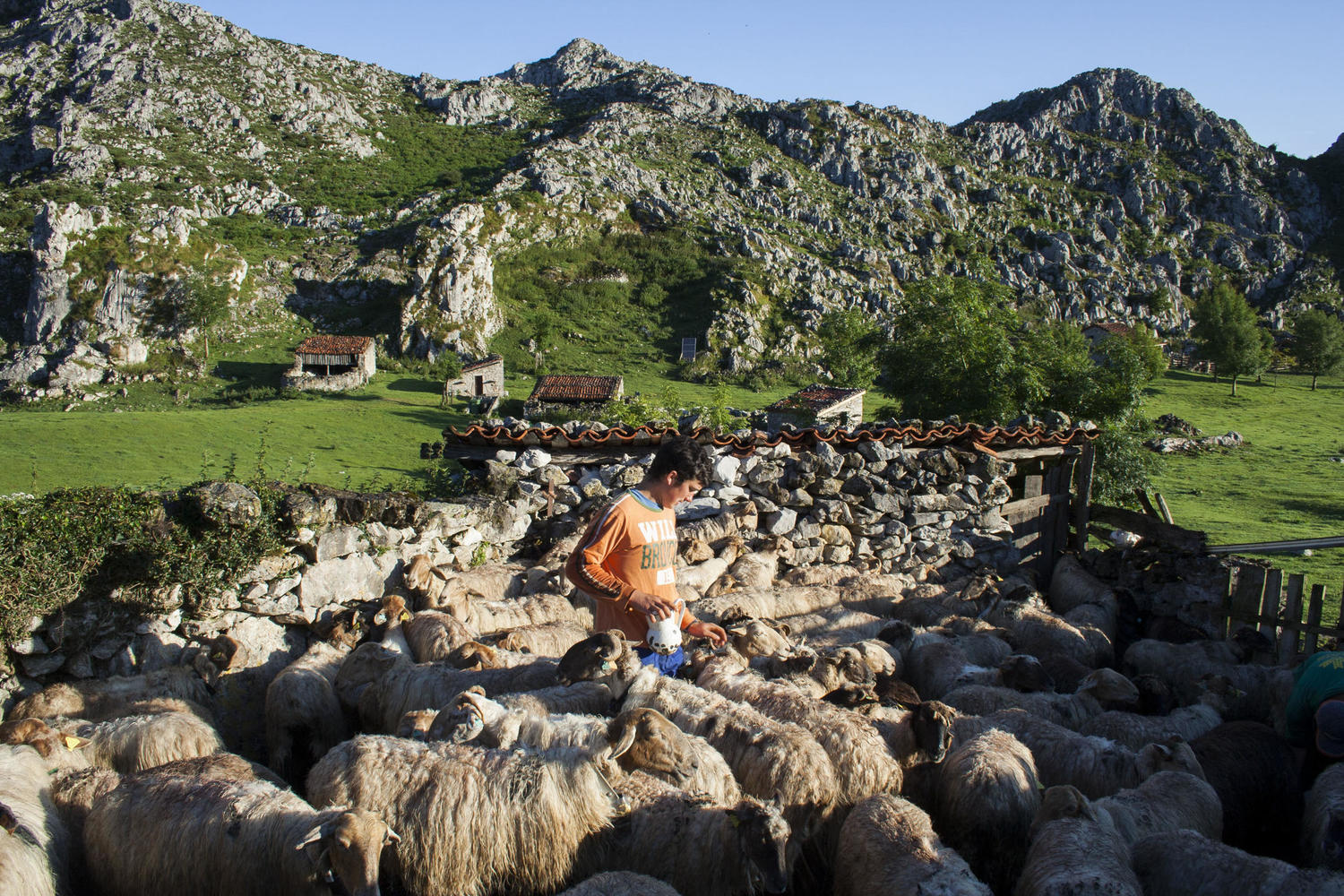 Ruben milking his sheep in the high pastures of the Picos