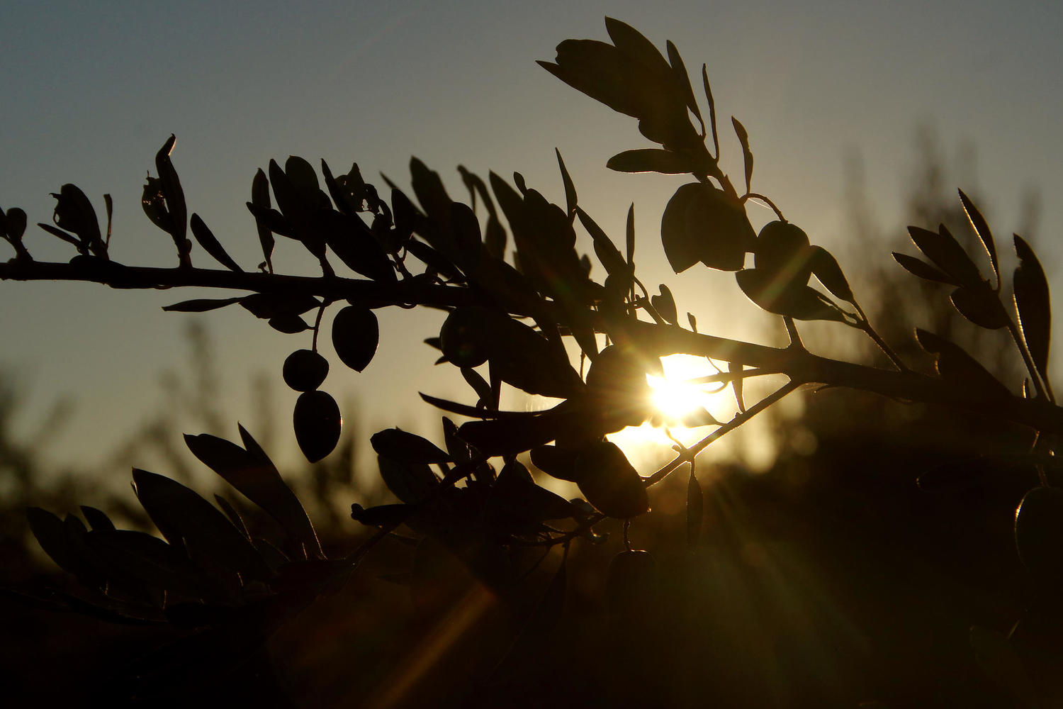 Shadowy outline of olives in the sunset near Priego de Còrdoba