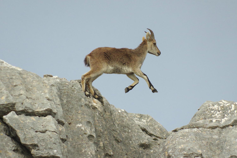 Spanish ibex at El Torcal