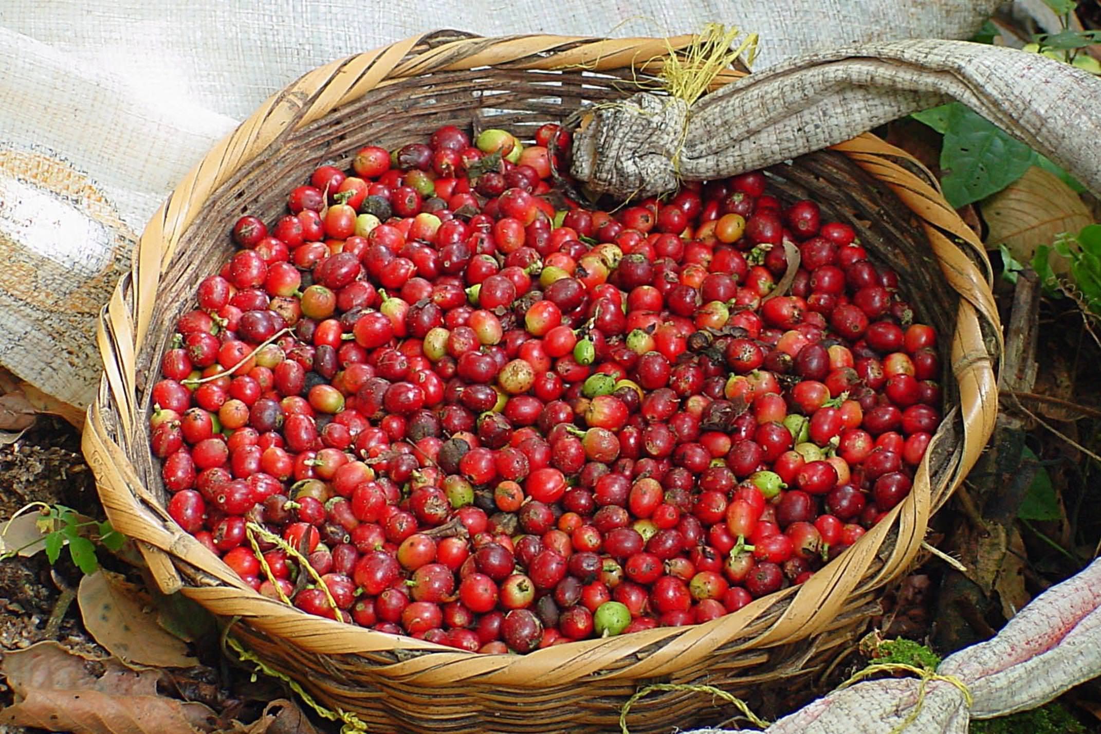 Nicaragua copyright jan strik coffee beans in matagalpa