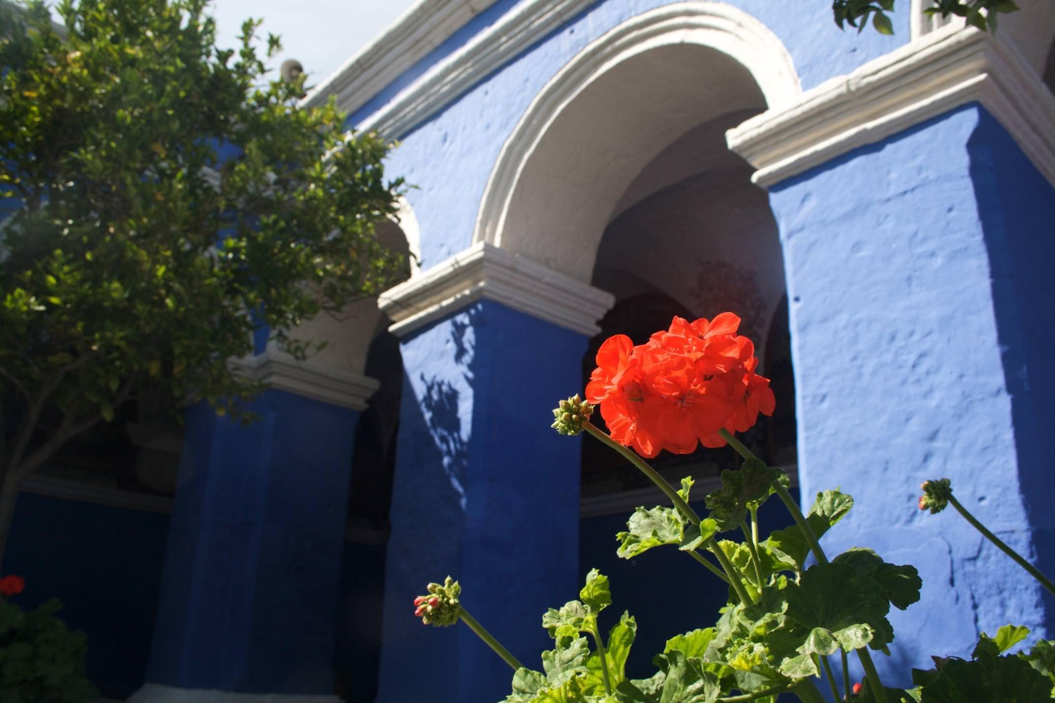 Peru arequipa geranium against blue wall of santa catalina convent