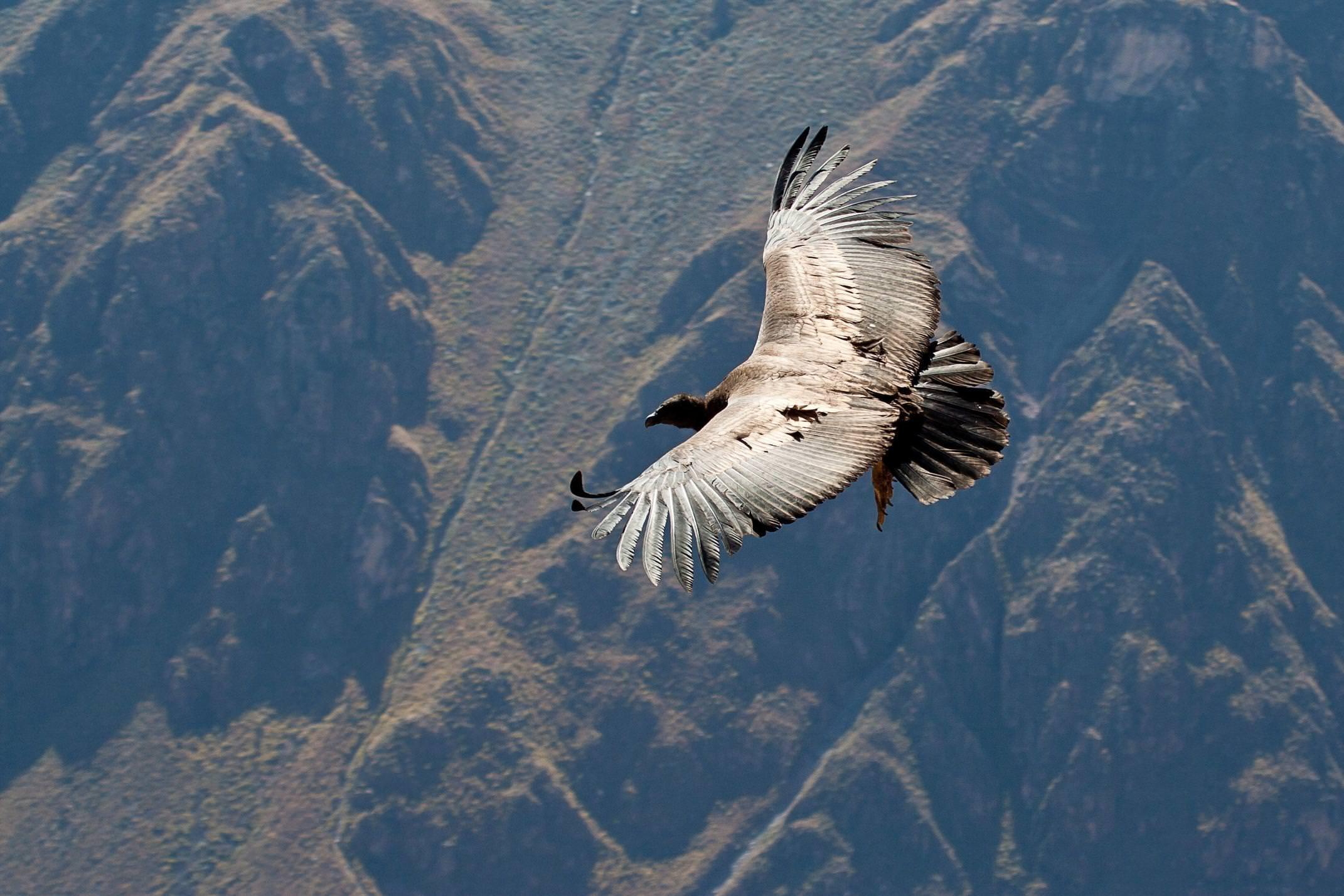 Peru colca condor flying