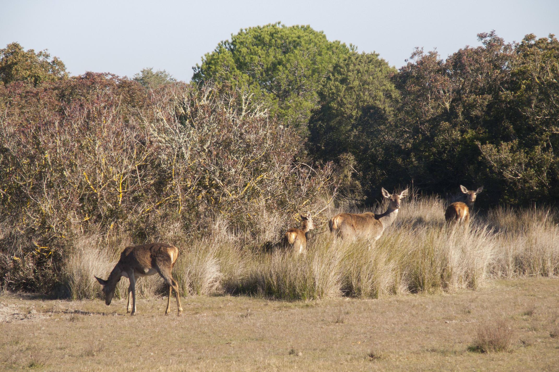 Spain andalucia doñana deer females