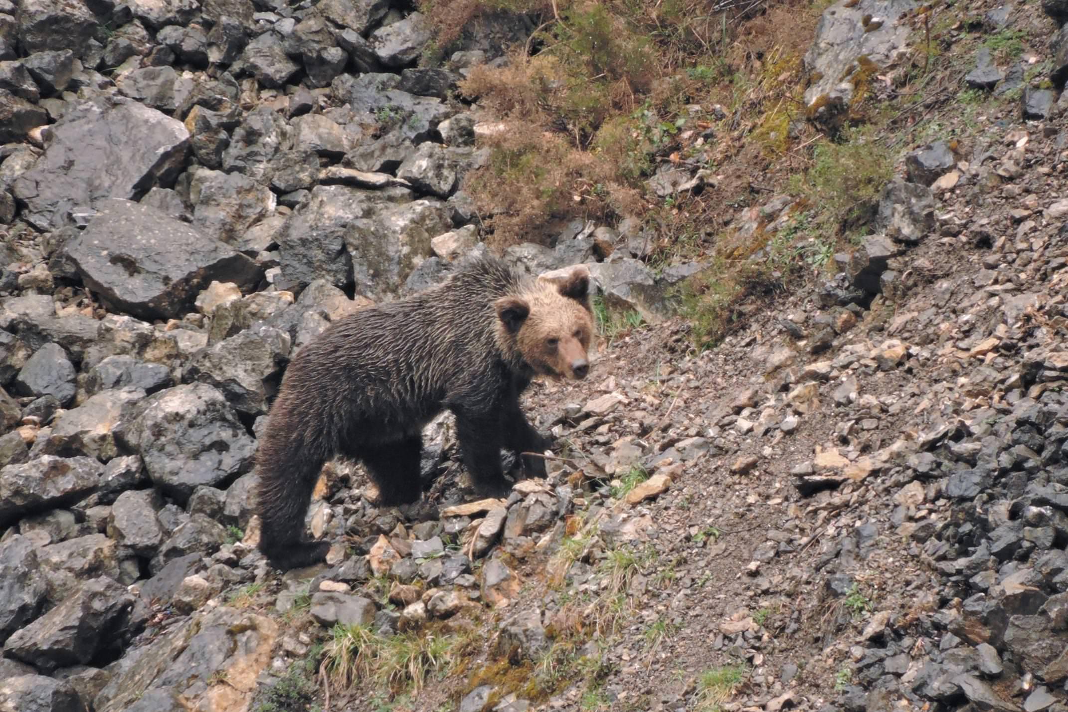 Spain asturias somiedo brown bear cub wild watching spain