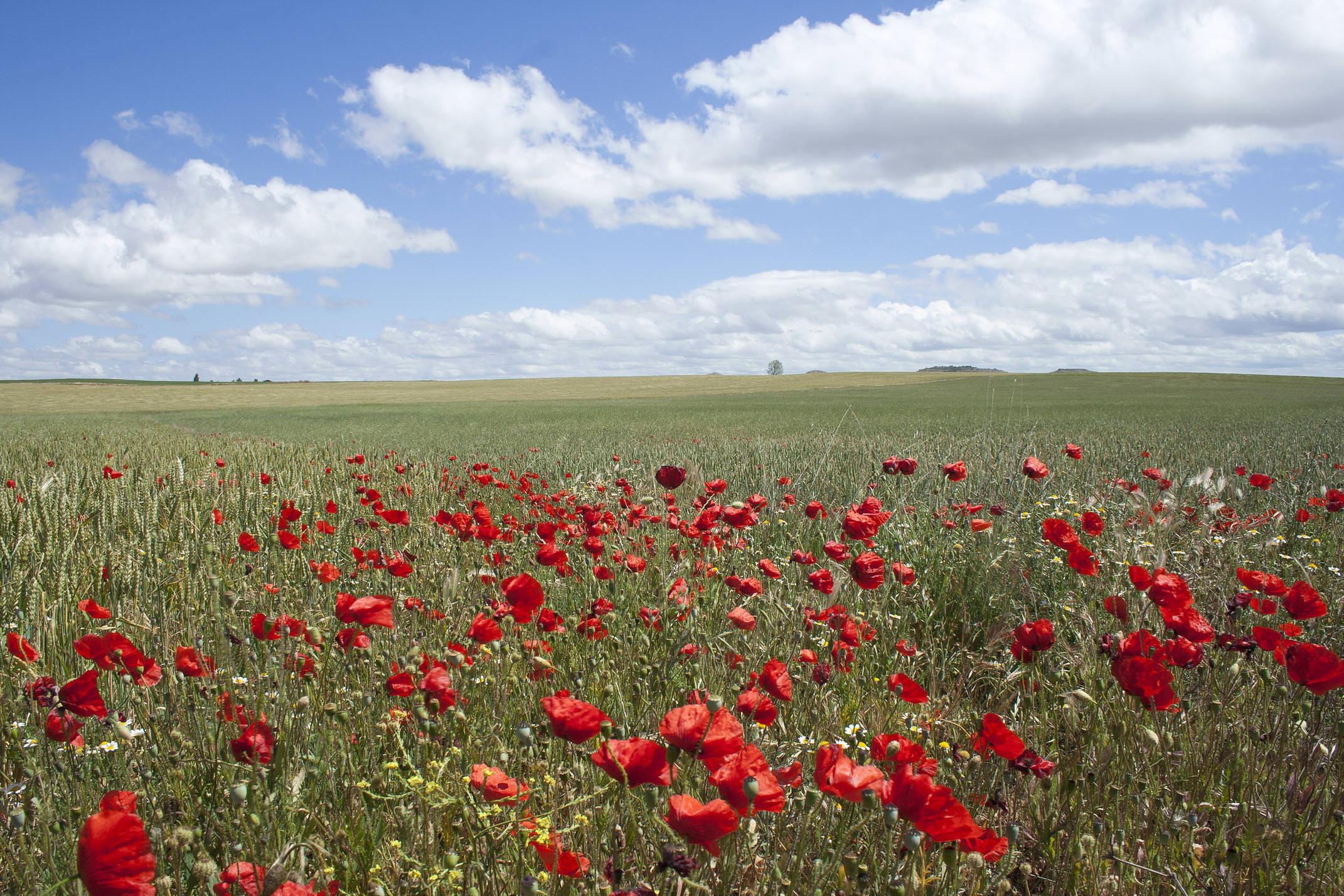 Spain burgos camino castrojeriz tierra de campos poppies c dmartin