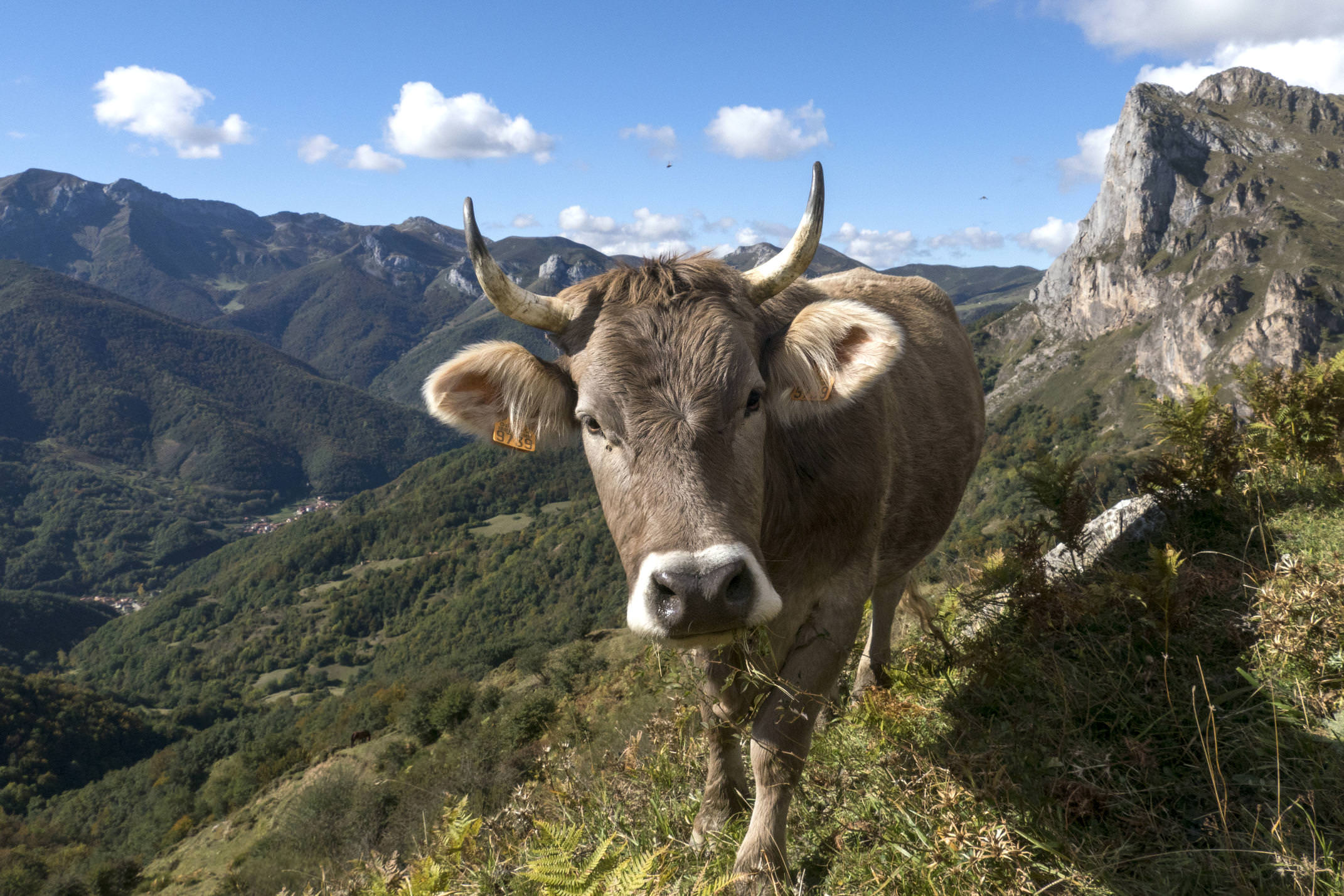 Spain cantabria picos de europa inn to inn day 3 top valdecoro cow