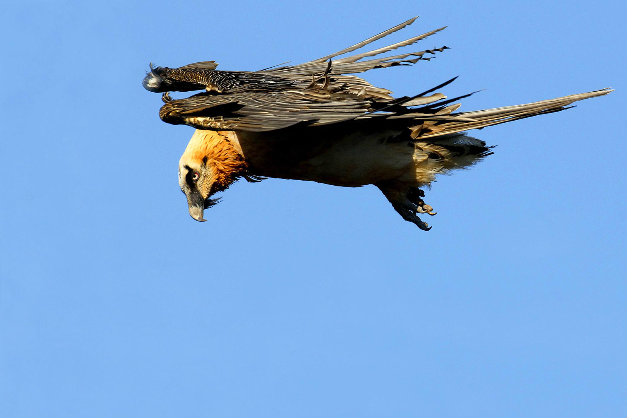 Spain huesca pyrenees ordesa birdwatching beardedvulture c jpablo25