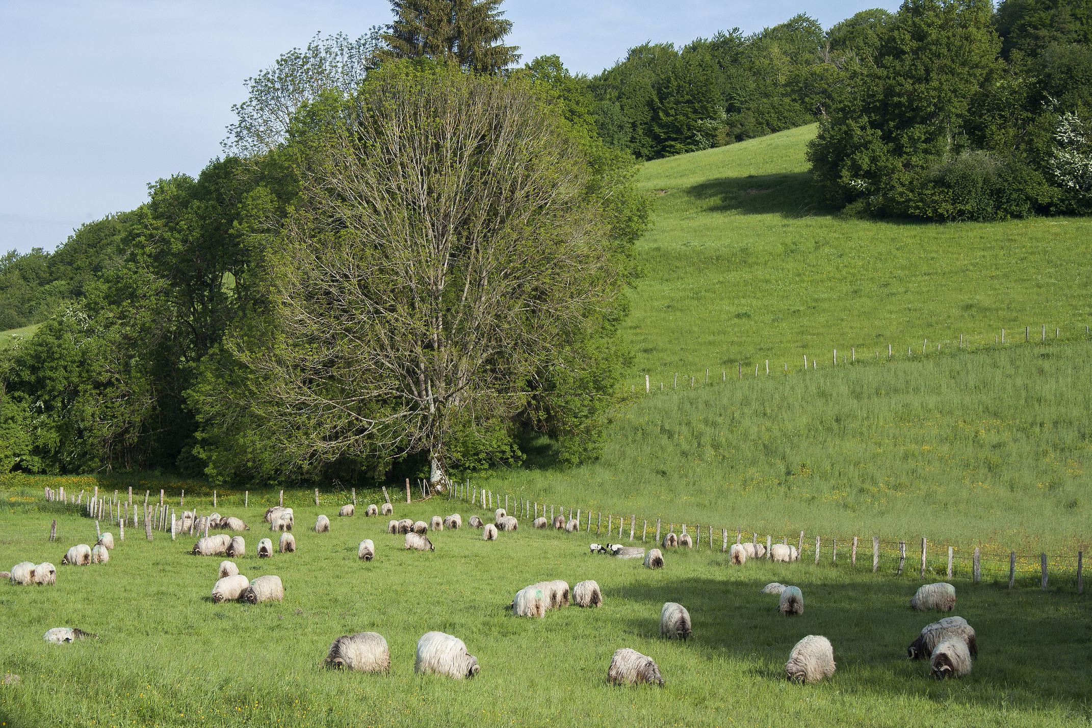 Spain navarre camino roncesvalles sheep c dmartin