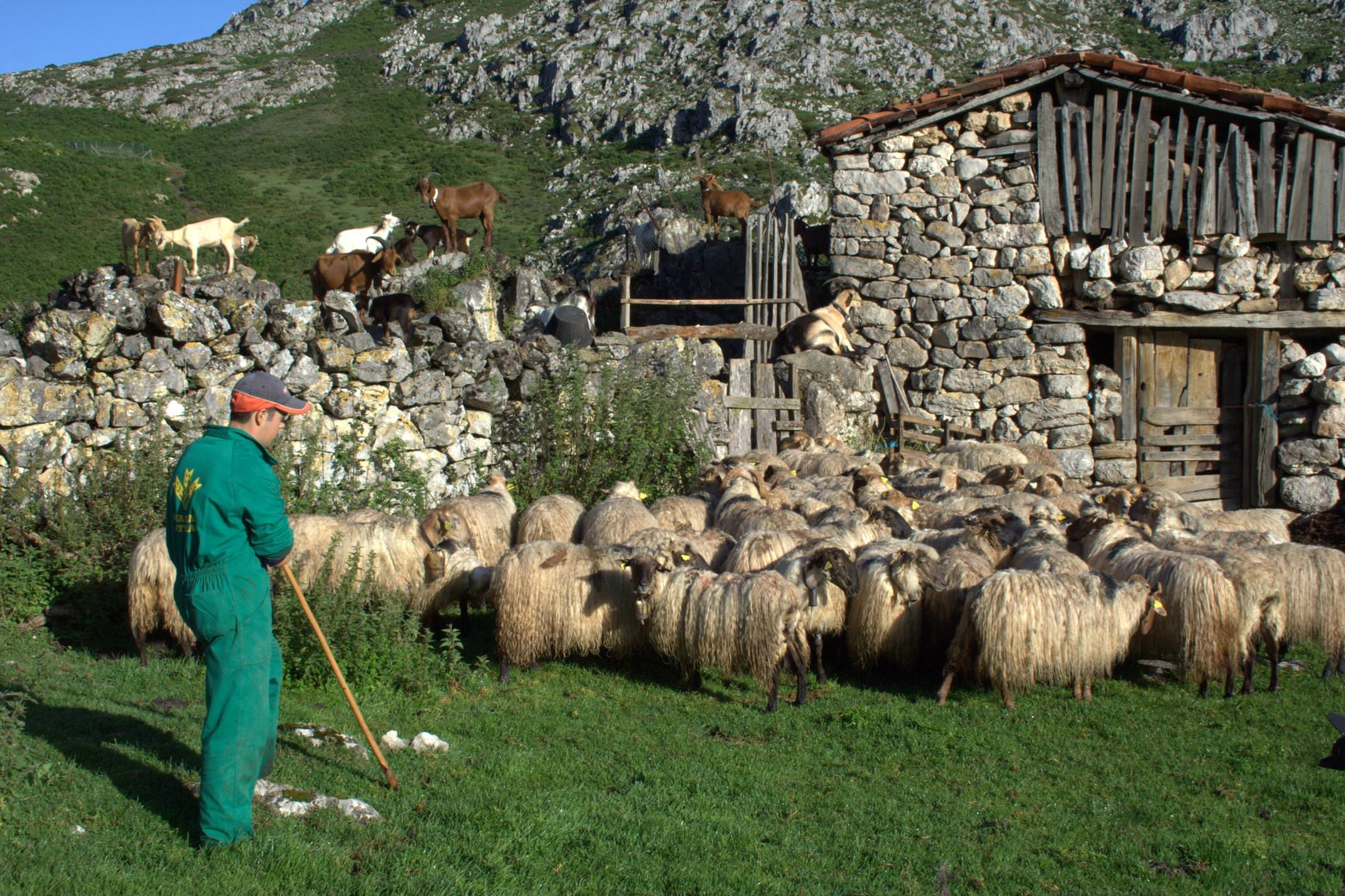 Spain picos de europa shepherd high pastures gamoneu cheese