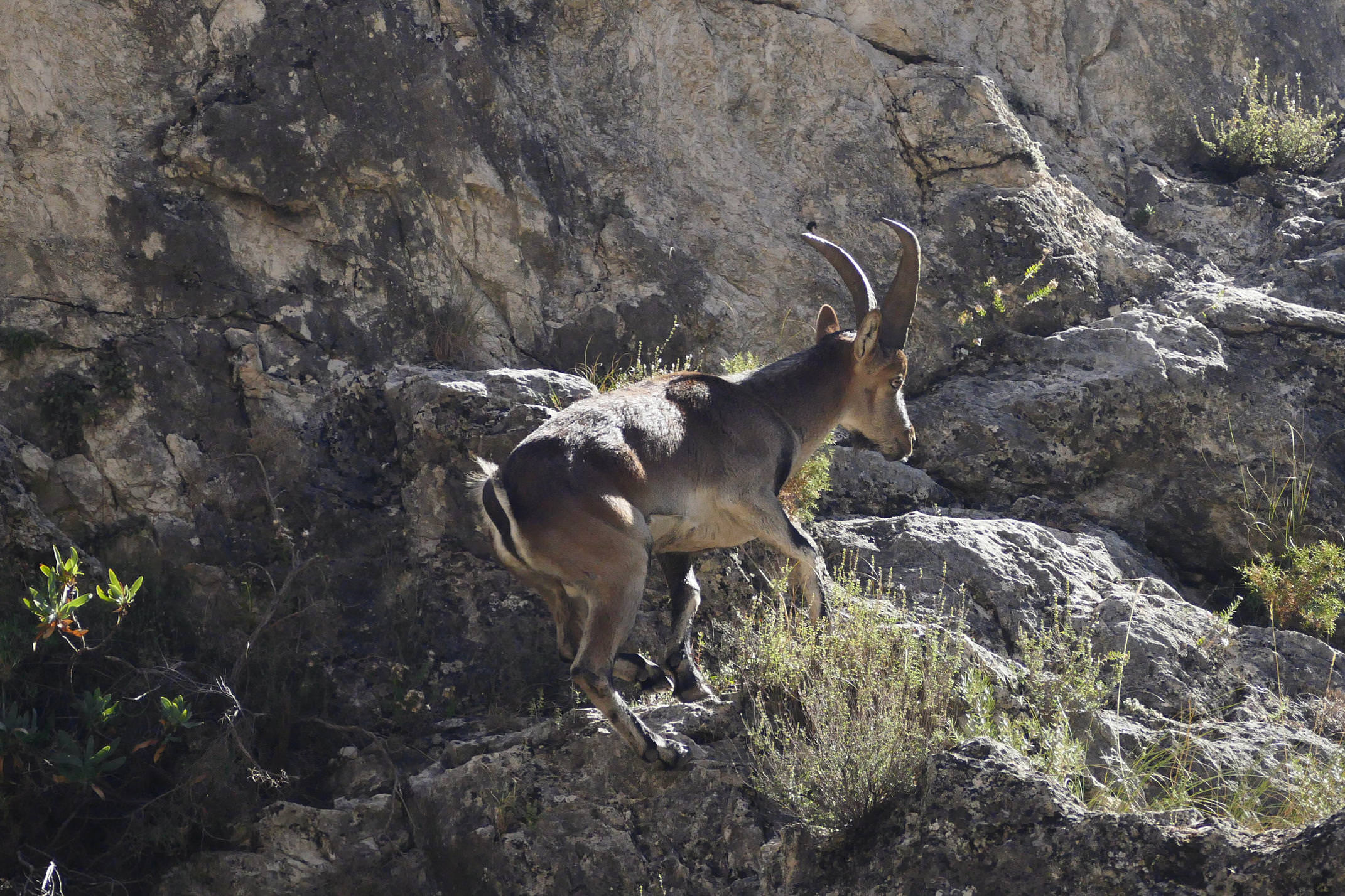 A wild Spanish ibex clambers up the hillside of the Rio Velillos canyon